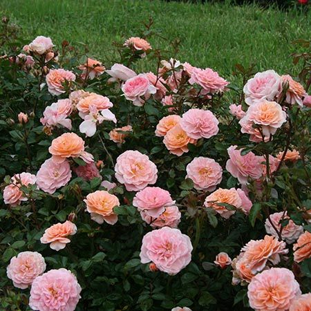 Apricot Drift Roses | Apricot Drift Roses for Sale for Sale | Fast Growing Trees