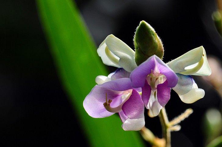 Codariocalyx motorius, la pianta che danza al ritmo di musica