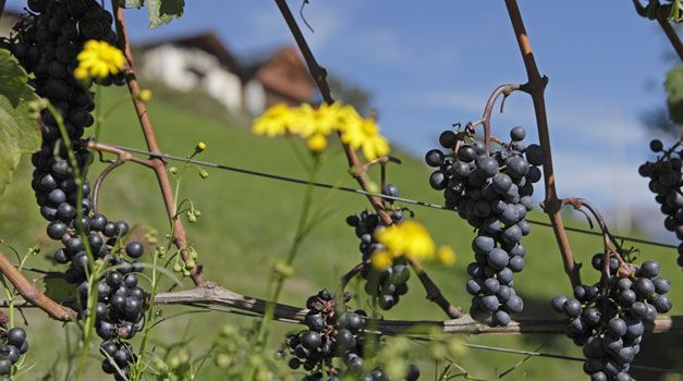 Video: Urlaub auf dem Weinbauernhhof verbringen #roterhahn #gallorosso #suedtirol #wein
