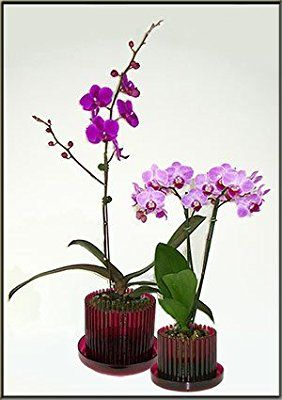 """5.25"""" Red Ruby Orchitop Carousel Orchid Pot with matching detachable saucer"""