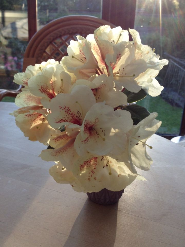 White Rhododendron from the garden