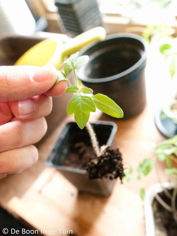 Tips verspenen zaailingen         |          De Boon in de Tuin
