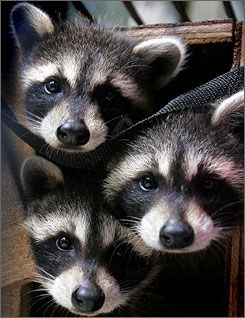 "The raccoon's scientific name, Procyon lotor, means ""washer dog"" although it is a closer relative to the bear family."