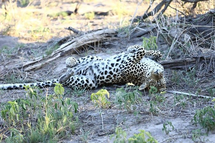 Pula is rapidly becoming as much of a movie-star as her legendary mother Legadima was... #EyeOfTheLeopard