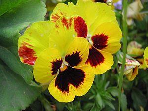 Viola tricolor (del pensiero)