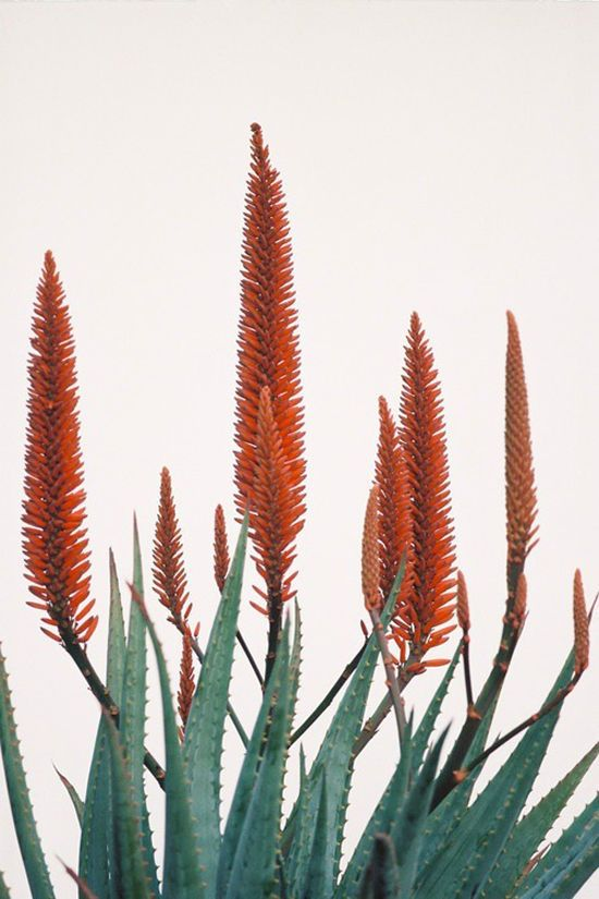 Flowering Aloes | Flowers & Greens