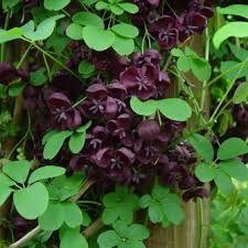 Akebia quinata , common name Chocolate vine