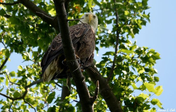 Bald Eagle about a mile from CBF's headquarters. Photo by: Donna L. Cole. Photo of the Week: http://cbf.typepad.com/chesapeake_bay_foundation/2013/06/photo-of-the-week-this-pretty-much-sums-it-up.html#