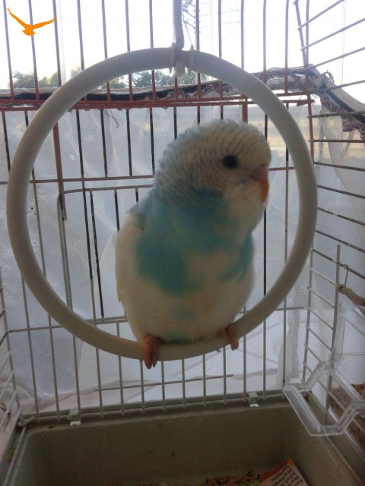 https://www.kuspazari.com/ilan/endi-urettigimiz-20-tl-ye-satilik-yavru-muhabbet-kuslari-va Benim kuşlarım daha güzel ama bunlarda fena sayılmaz :)