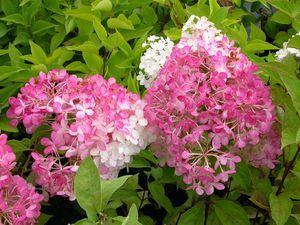 Hydrangea paniculata Vanilla Fraise  20-30 At/Co