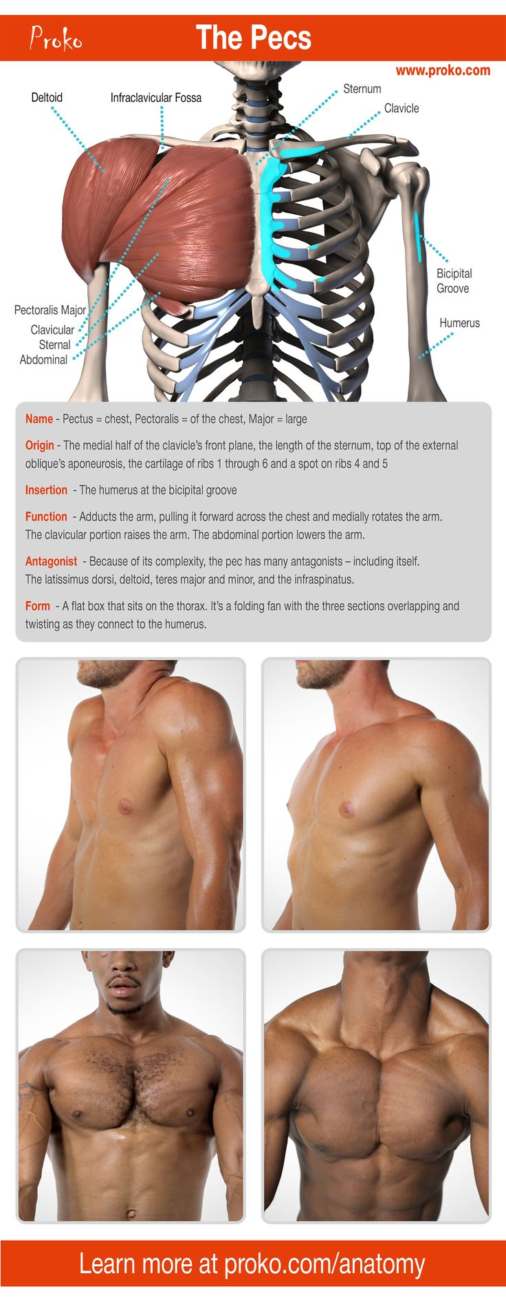 Let's learn the anatomy of the pecs so that you can draw an accurate chest. #infographic #art #anatomy