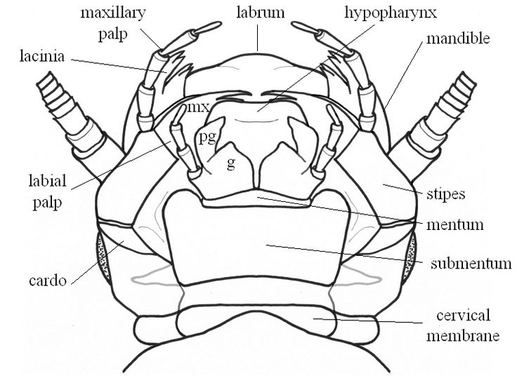 praying mantis mouth parts diagram