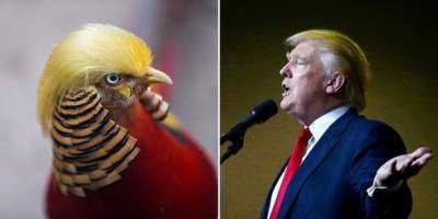 Новая звезда Интернета: фазан, похожий на Дональда Трампа