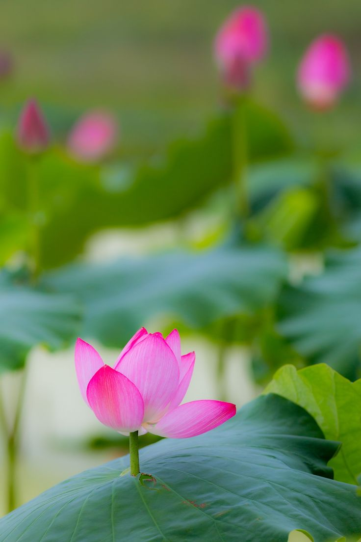 13 best the wonderful lotus images on pinterest lotus flowers break through by tatsuo yamaguchi on 500px izmirmasajfo Image collections