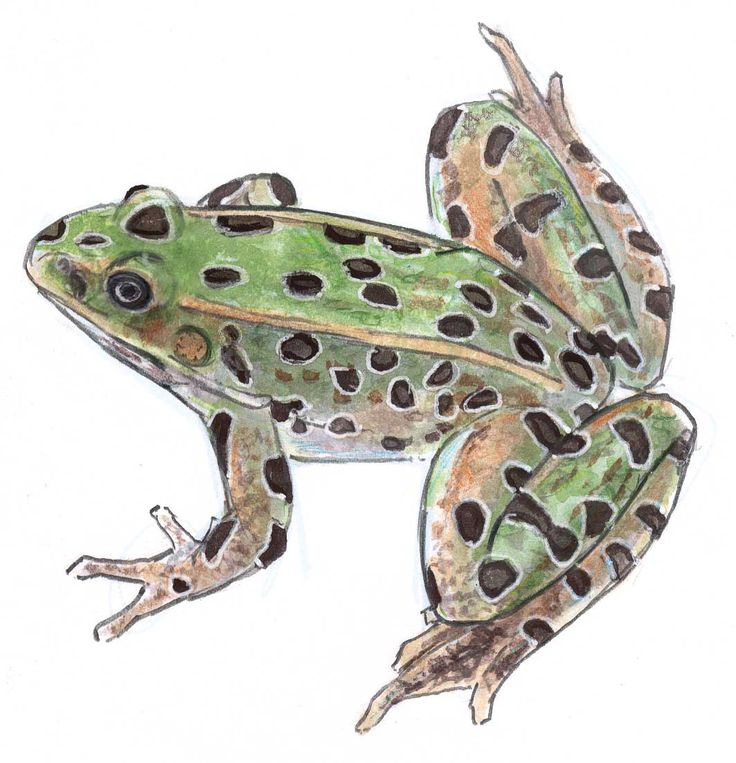 Learn how to draw a frog with watercolor in this step-by-step demonstration.