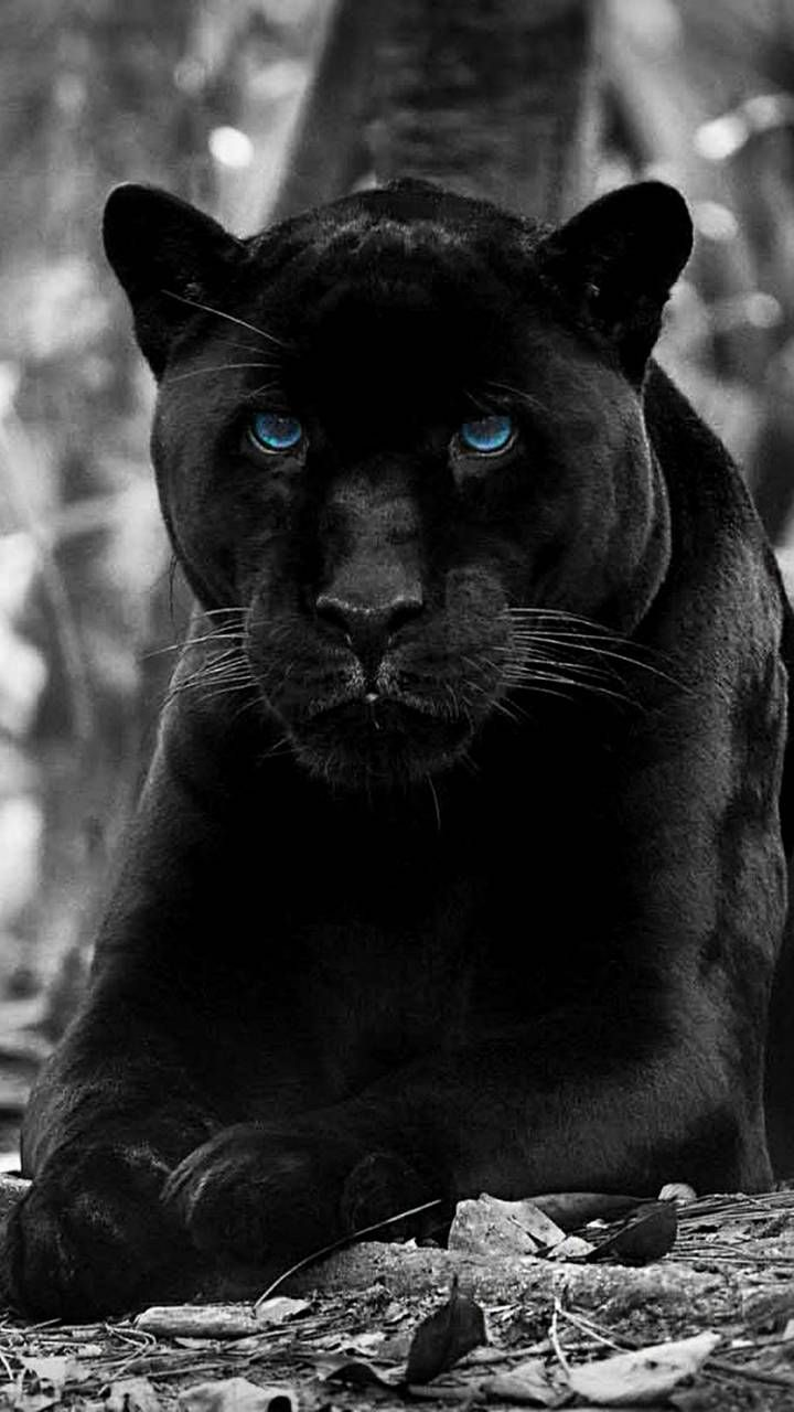 Black Panther Panther Cat Black Panther Cat Animals Wild