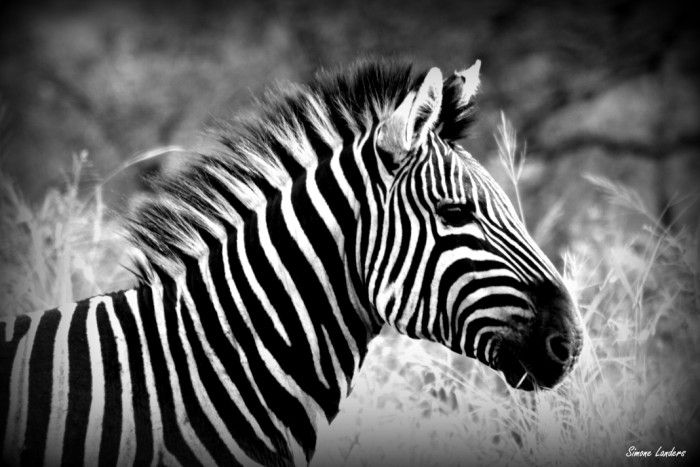 There is something about a black and white Zebra photograph that is so striking and intriguing.