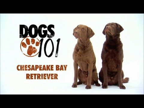 DOGS 101 - Chesapeake Bay Retriever [ENG] - YouTube