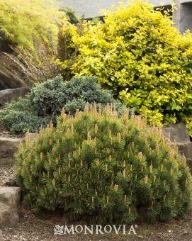 Dwarf Mugo Pine - 3-5' H, 6-10' W, Zones 2-8