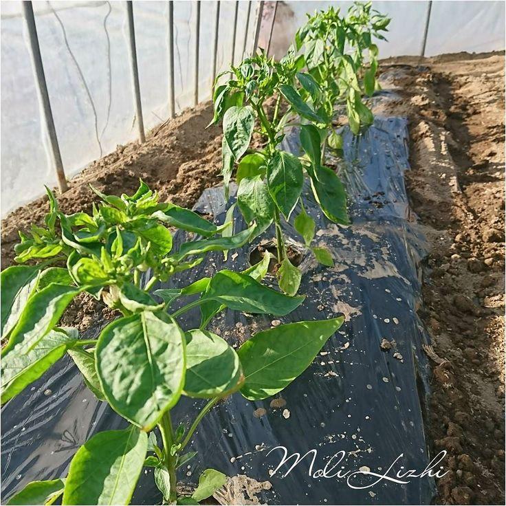 ピーマンを植えましたもう花が咲いているのですよ  #green #pepper #피망 #青椒 #Зеленый #перец #ピーマン #やさい #野菜 #蔬菜#овощи #Vegetables  I planted green peppers inside a plastic house. This green pepper is blossoming.  내가보고 비닐 하우스에서 고추를 심었습니다. 이 고추는 꽃을 피우고 있습니다.  我唯一的塑料大棚種植辣椒 這種辣椒有綻放  Я насадил перец в единственном виниловой теплице. Этот перец имеет налетом.