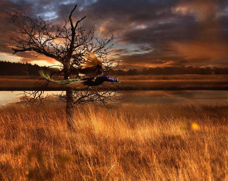 De fascinatie dat pauwen kunnen vliegen… en dat de cylcus, het ritme van de natuur zo ontzettend duidelijk zichtbaar is bij deze prachtige dieren. Pavo Cristatus Kale bomen, gouden zon Witte deken is nabij Gooi je sleep af en wacht Klokjes zullen luiden euforische kreten klinken De gong reikt ver Ze zullen schitteren je zal …