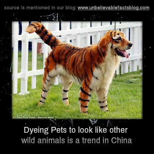 Dyeing your pets ...wow would be awesome to do it here