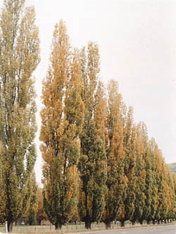 Lombardy Poplar - Populus nigra    large deciduous tree with upright, narrow growth habit  dark green triangular shaped leaves have light green underside  widely used as wind break for property boundaries  fast growing to 80-100' tall and 10-15' wide