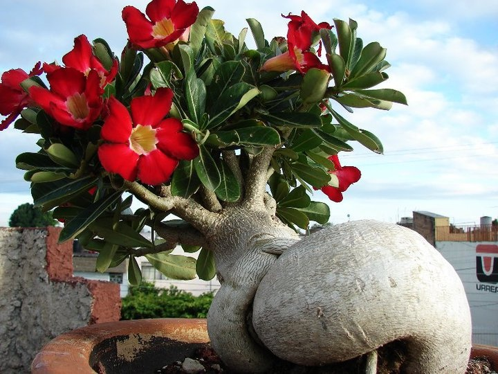 A very unique angle on this Adenium obesum hybrid.