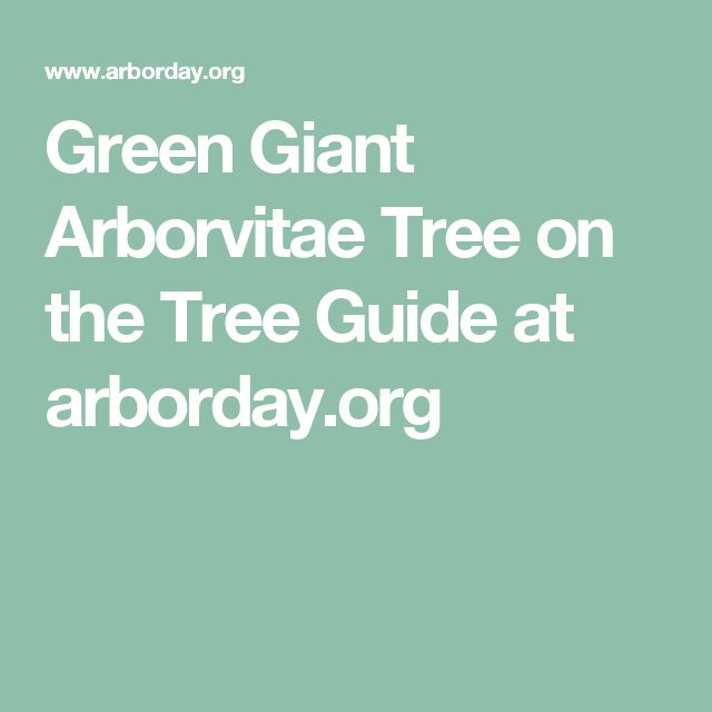 Green Giant Arborvitae Tree on the Tree Guide at arborday.org