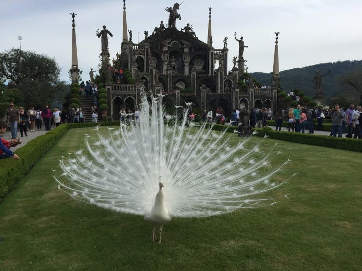 There are beautiful white peacocks walking around the Isola Bella gardens