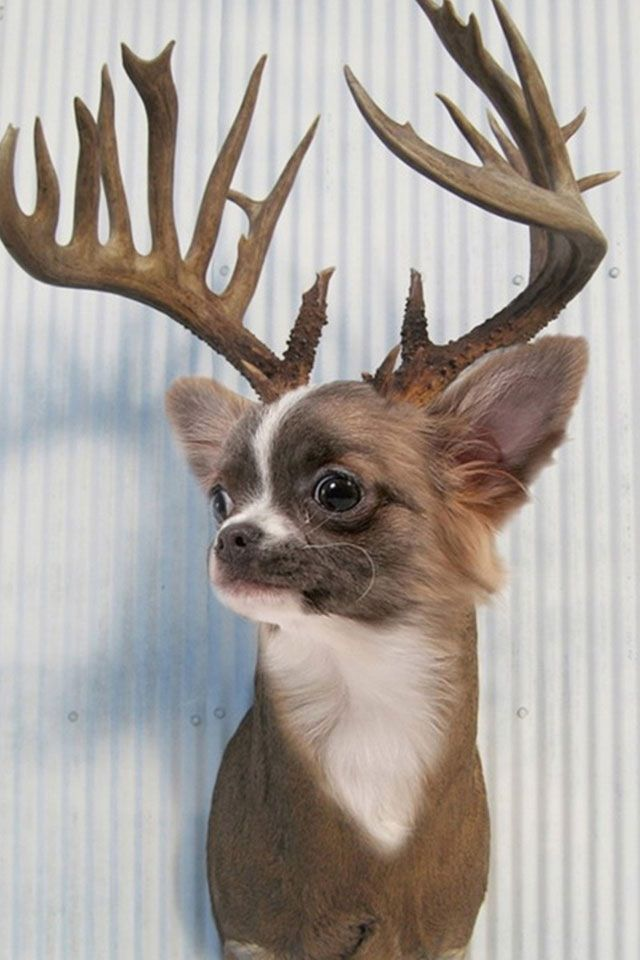 Funny Reindeer chihuahua holiday dogs | Holiday Dogs | Pinterest