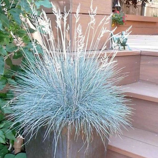 100Pcs Blue Fescue Grass Seeds Perennial Hardy Ornamental Grass Home Garden - Newchic Mobile.