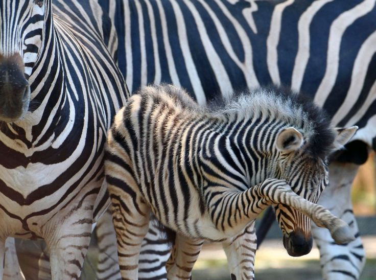 A few days old zebra foal stands in an enclosure at the zoo in