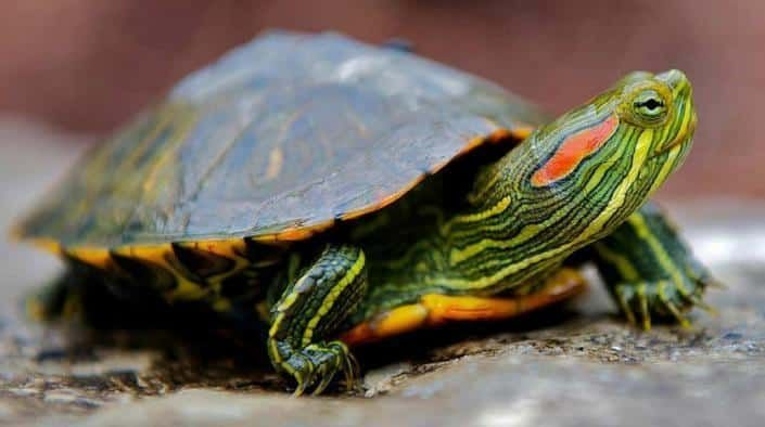 Aquatic Turtles For Sale Live Baby Turtles For Sale My Freshwater Turtle Store In 2020 Types Of Turtles Red Eared Slider Turtle Slider Turtle