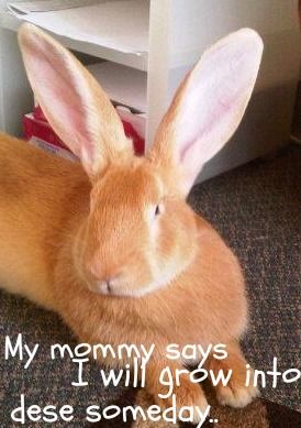 Flemish Giants are one of my favorite rabbit breeds!