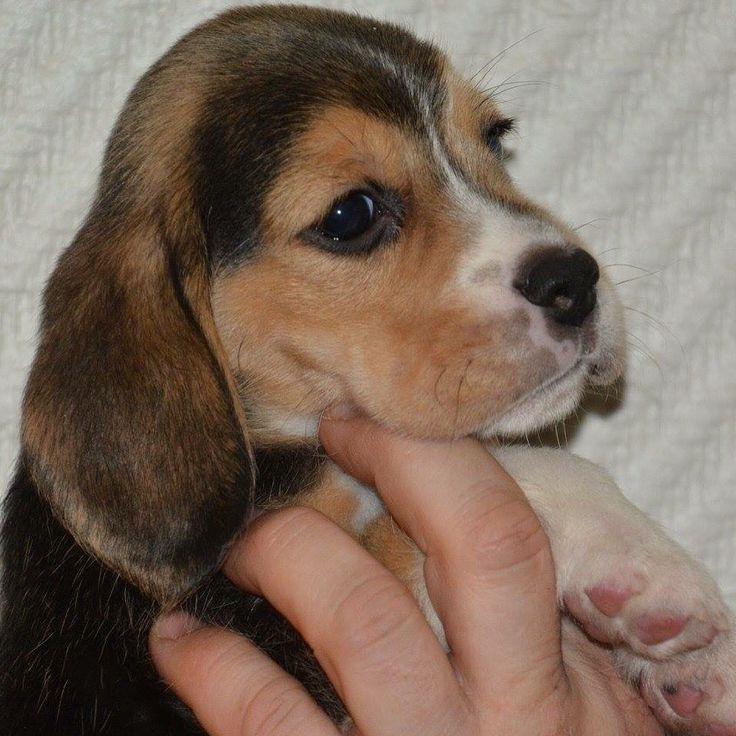 Min beaglevalp