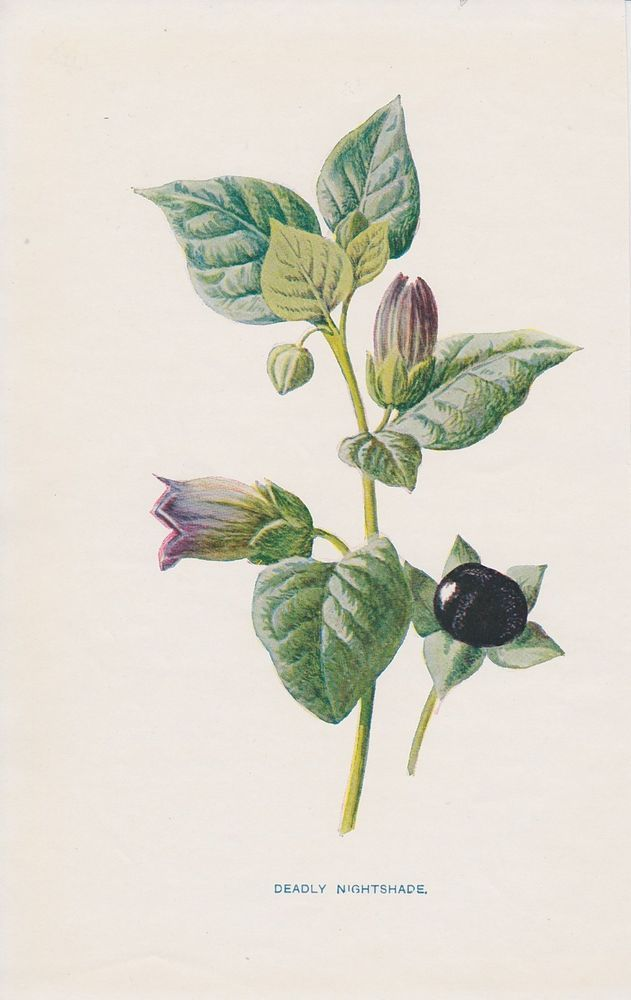 1897 antique Deadly Nightshade flower lithograph print by Hulme.