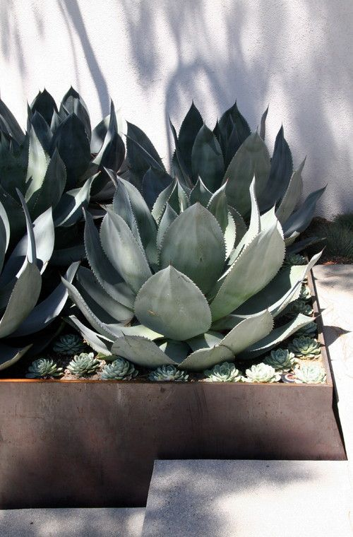 Cactus style plants' clean and sleek finish look great in modern  gardens. Pair with neutral decor and position  with a large patio.