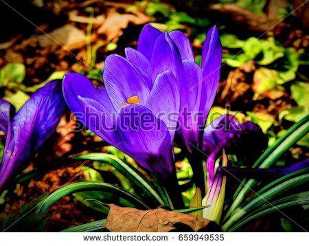 Illustration of spring flowers of crocus