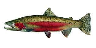 steelhead fish - Google Search