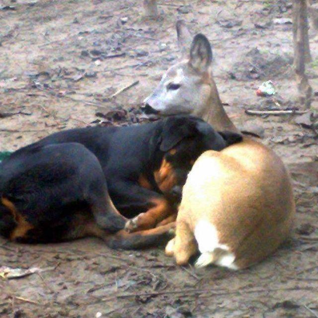 Rottweiler loving on his deer friend....