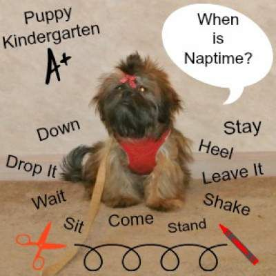 Training Resources for a Shih Tzu at http://miracleshihtzu.com