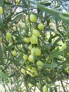 A true taste of gourmet Australia is available from our family run and owned farm approximately 30 minutes drive west from Gympie. Our farming experience spans many years of successfully growing prime beef cattle and now we have grown our business to supply native finger limes and desert limes for the gourmet food market.  Our beautiful greenery is also available for sale to the cut flower market.