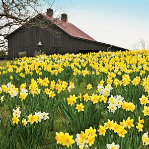 Planting Daffodils - I would love to plant one of our fields like this.