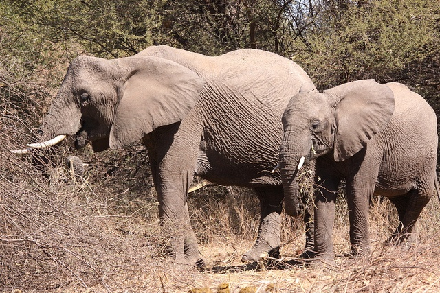 African Elephant, Loxodonta africana in Mapungubwe - beside the road, every time I tried to pass they hooted at me. by Derek Keats, via Flickr