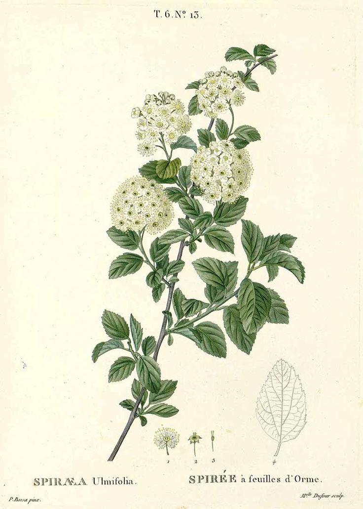 спирея цветок рисунок типу местности, населенным
