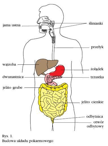 układ pokarmowy człowieka budowa i funkcje - Szukaj w Google