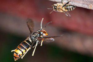 Pour protéger les abeilles des frelons asiatiques, testez la muselière - Terra eco