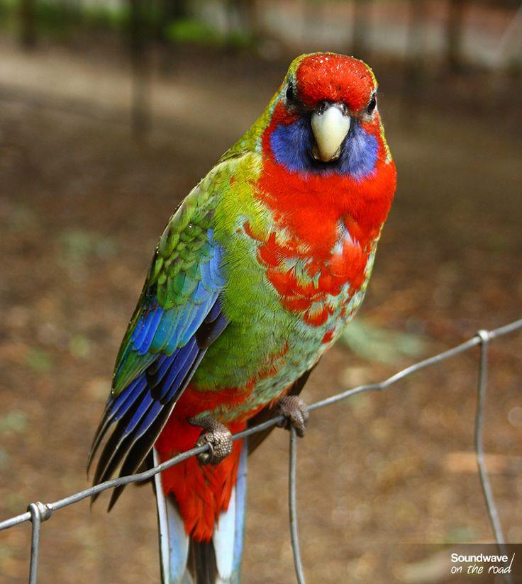 Adelaide rosella, Victoria, Australia http://soundwaveontheroad.com/les-oiseaux-du-dandenong-ranges-national-park/