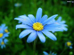 A Blue Daisy